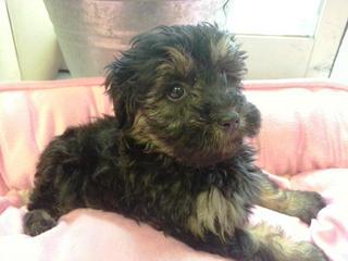 For Sale Moodle Pups Maltese X Poodle