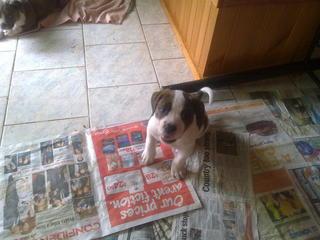 Cars For Sale Rockhampton >> FOR SALE: American bulldog puppies