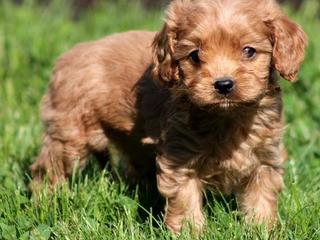 Toy Tractors For Sale >> FOR SALE: Ruby Red Toy Cavoodle Puppies