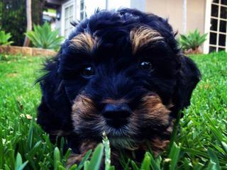 FOR SALE Cavoodle Puppy Rare Phantom Colouring