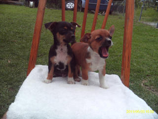 For Sale Chihuahua Cross Mini Foxie Puppies
