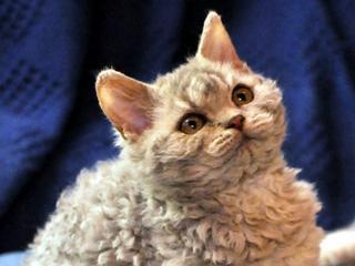 For Sale Selkirk Rex Kittens