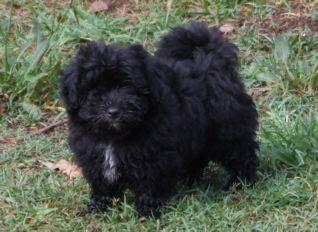 New Trucks For Sale >> FOR SALE: Moodle puppy black