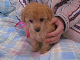 For Sale Toy Poodle Puppies Pure Pedigree