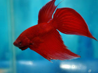 Cars For Sale Rockhampton >> FOR SALE: Siamese Fighter Fish (Betta Splenden)