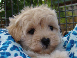 For Sale Moodle Maltese X Toy Poodle Tiny Baby Boy