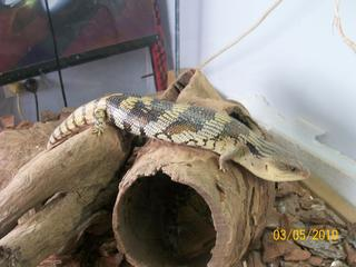 For Sale Blue Tongue Lizard Amp Cage