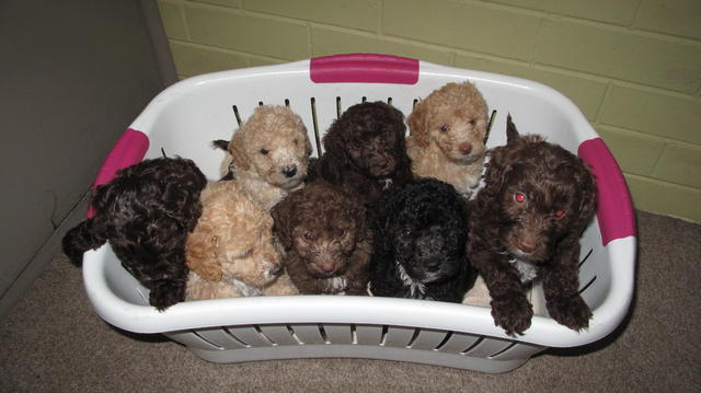 FOR SALE: Labradoodle puppies