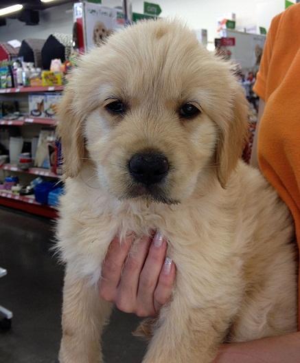 FOR SALE: Adorable Golden Retriever Puppy - Female