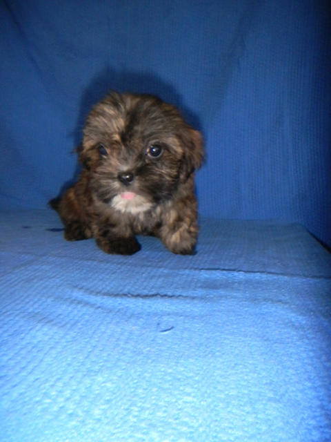 for sale  shih
