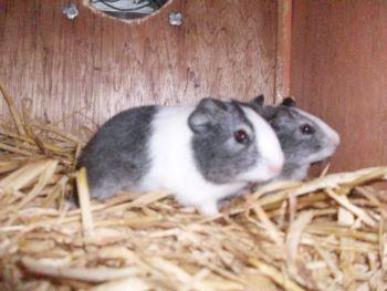 For Sale Guinea Pigs Dutch Pedigree