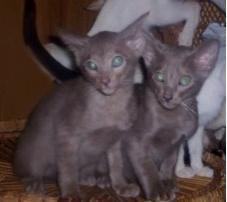 FOR SALE: Siamese & oriental kittens. registered breeder