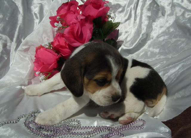 FOR SALE: Beautiful Pure Bred Playful Beagle Puppies Queensland Australia