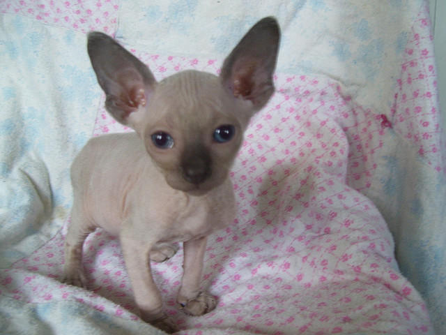 How much do sphynx cats cost uk